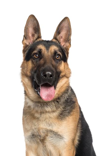 Cane da pastore tedesco isolato su bianco Foto Premium