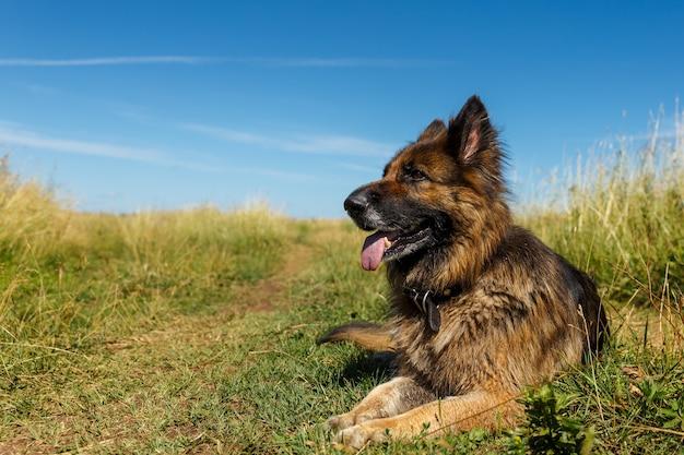 Il cane da pastore tedesco si trova con la sua lingua che appende fuori sull'erba contro il cielo blu. Foto Premium