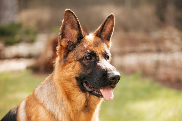 Pastore tedesco che gioca sull'erba nel parco. ritratto di un cane di razza. Foto Premium
