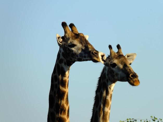 La giraffa sul safari nel parco nazionale di chobe, botswana, africa Foto Premium