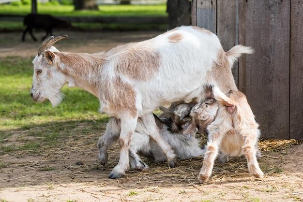 Una madre di capra che alimenta il suo bambino al pascolo. due piccole capre bevono latte Foto Premium