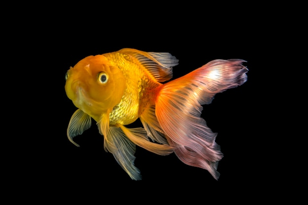 Pesce d'oro sul nero isolato, pesce rosso che nuota sul nero Foto Premium