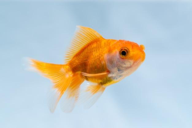 Pesce d'oro o pesce rosso che nuota sott'acqua nella vasca dell'acquario fresco, vita marina. Foto Premium