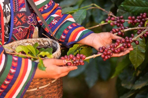 Caffè arabica di buona qualità in alta montagna. Foto Premium