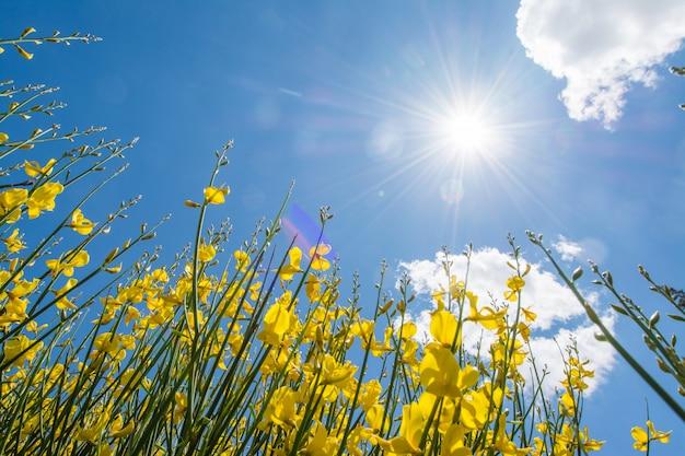 Gorse o genista in primavera con cielo e nuvole, sfondo stagionale Foto Premium