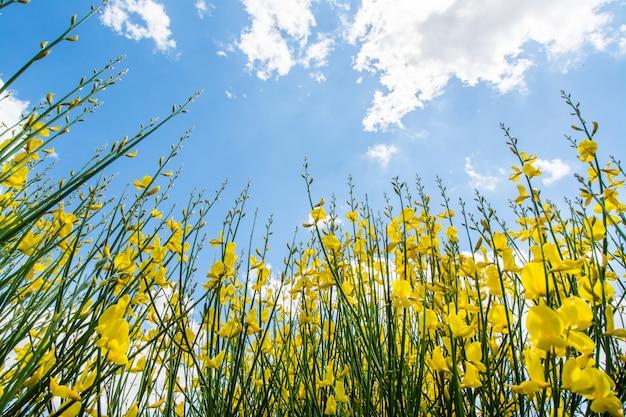 Gorse o genista in primavera con cielo e nuvole Foto Premium