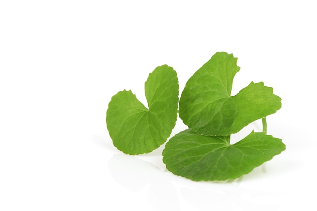 Gotu kola o centella asiatica foglie verdi isolati su sfondo bianco. Foto Premium
