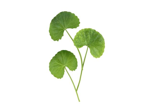 Gotu kola o centella asiatica foglie verdi isolato su bianco con tracciato di ritaglio. Foto Premium