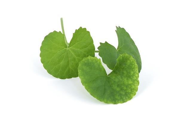 Gotu kola o centella asiatica foglie verdi isolati su bianco. Foto Premium
