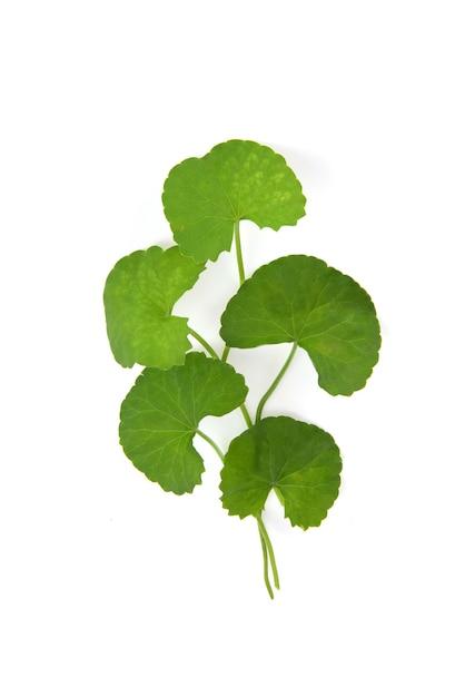 Gotu kola foglie verdi isolati su uno sfondo bianco. Foto Premium