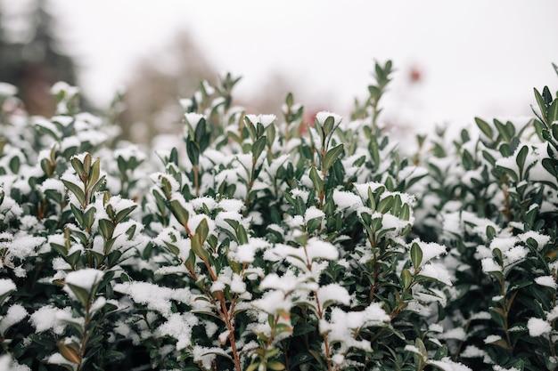 Cespugli verdi ricoperti di neve bianca in un gelido parco invernale. Foto Premium