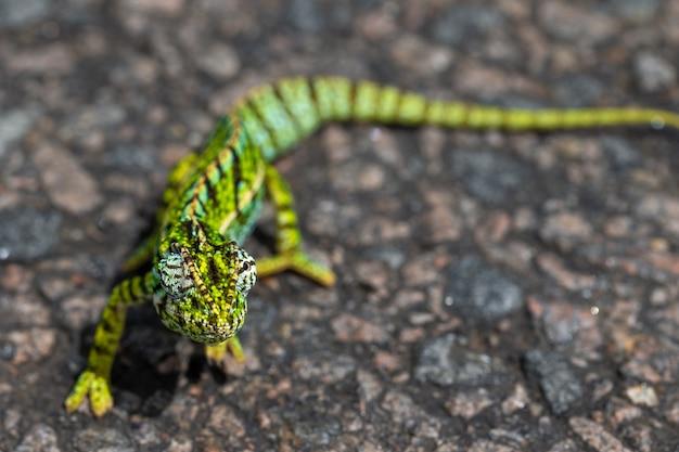 Camaleonte verde sull'asfalto Foto Premium