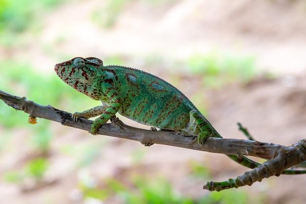 Camaleonte verde su un ramo in natura Foto Premium