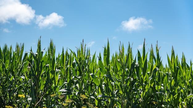 Campo di mais verde in crescita, dettaglio di mais verde sul campo agricolo Foto Premium