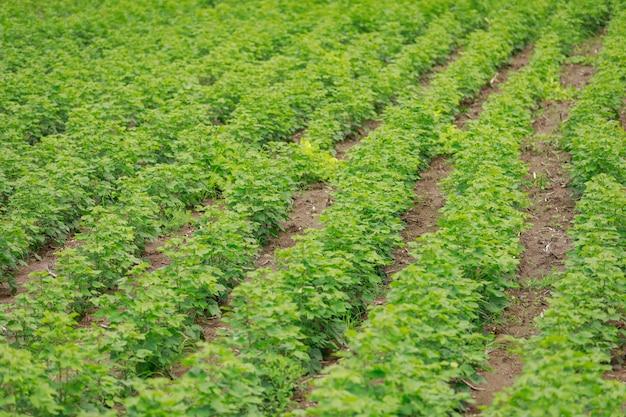 Campo di cotone verde in india Foto Premium