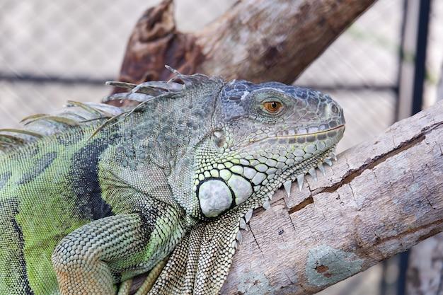 L'iguana verde riposa sul legno nella gabbia allo zoo Foto Premium