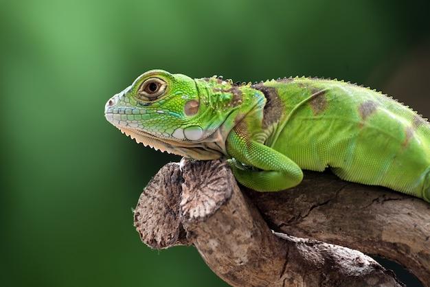 Iguana verde su un ramo di un albero Foto Premium