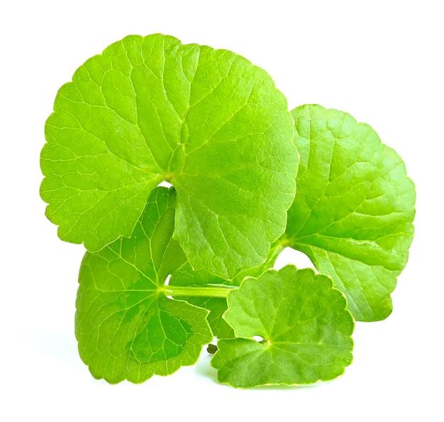 Foglie verdi di centella asiatica, centella asiatica, (centella asiatica (linn.) erbe tropicali isolati su sfondo bianco Foto Premium