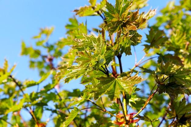 Foglie verdi sugli alberi di acero nella stagione autunnale. Foto Premium