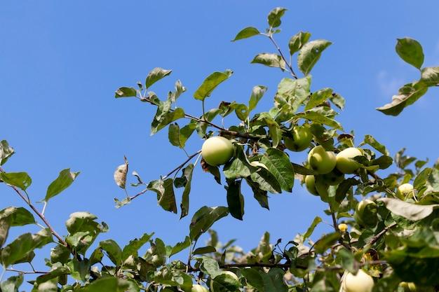 Una mela matura verde sui rami di un albero di mele. primo piano della foto in autunno Foto Premium