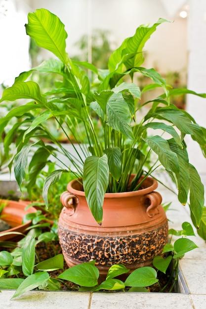 Piccolo mirtillo verde, pianta della casa in vaso. concetto di arredamento e amante della casa Foto Premium