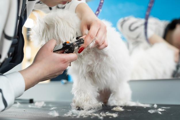 Il toelettatore taglia gli artigli del cane bianco con le forbici Foto Premium