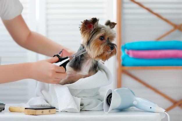 Groomer fa un taglio di capelli per l'yorkshire terrier con le forbici |  Foto Premium