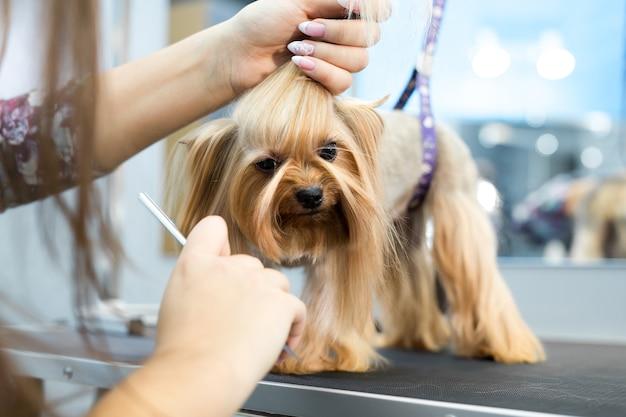 Groomer mette un arco sulla testa del cane Foto Premium
