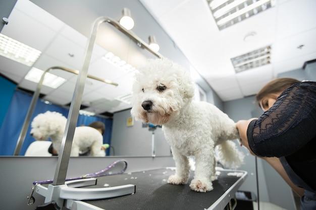 Groomer che taglia un piccolo cane bichon frise con una tosatrice elettrica Foto Premium