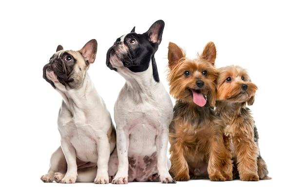 Gruppo di cani seduti e alzando lo sguardo isolato su bianco Foto Premium