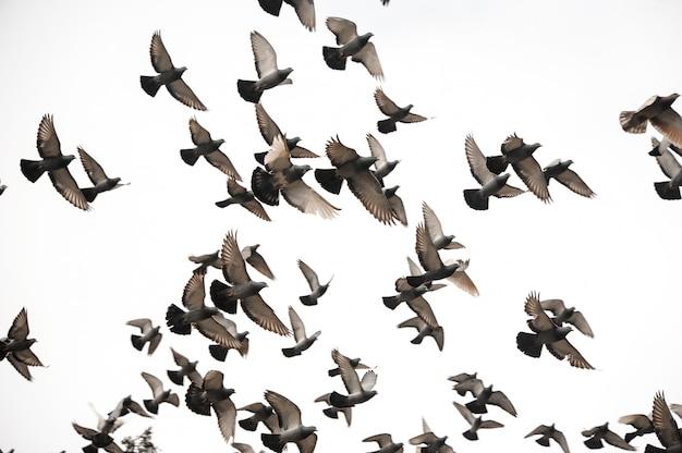 Gruppo di molti piccioni che volano nel cielo grigio Foto Premium