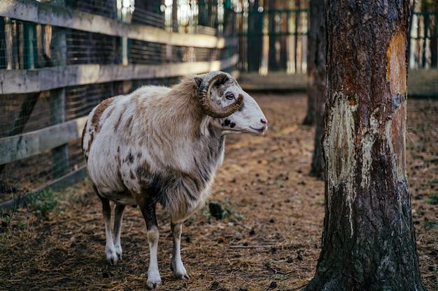 Un gruppo di mufloni, ovis gmelini o ovis orientalis cammina attraverso una montagna Foto Premium