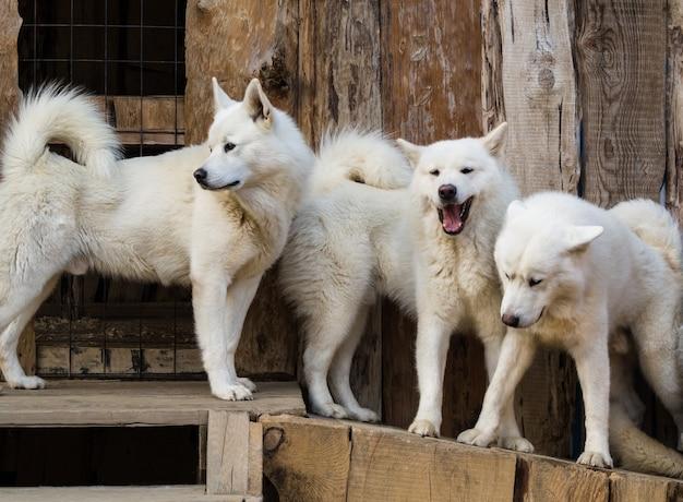 Gruppo di cani husky bianchi in piedi in canile in legno Foto Premium