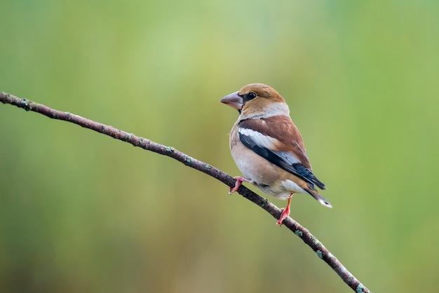 Hawfinch appollaiato su un ramo Foto Premium