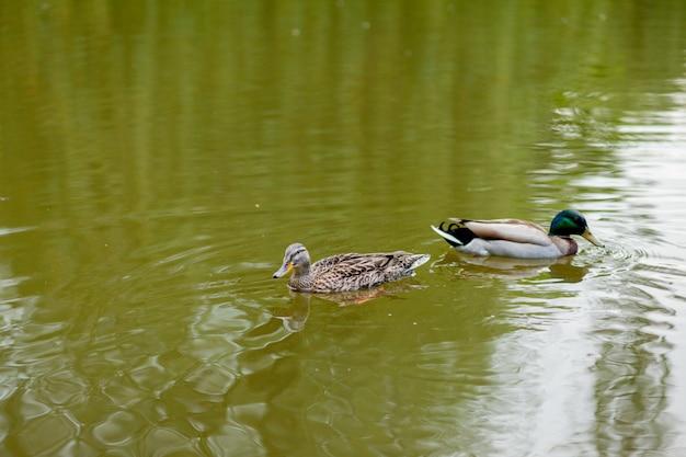 Una gallina e drake mallard duck nuotano insieme Foto Premium