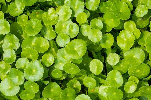 Foglie di erbe medicinali di centella asiatica Foto Premium