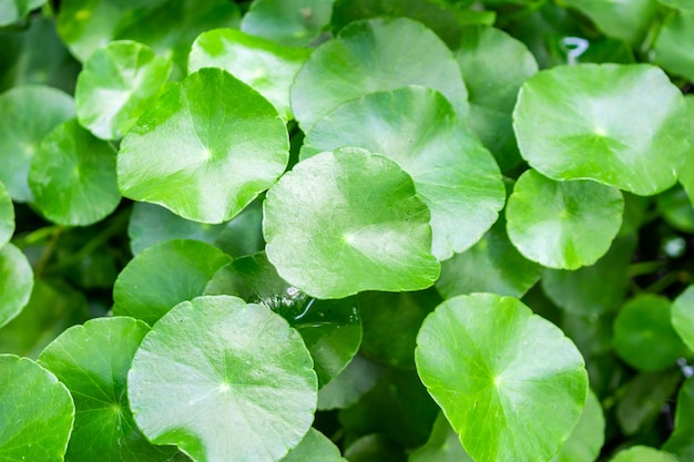 La medicina di erbe lascia sullo sfondo la natura della centella asiatica conosciuta come centella asiatica Foto Premium