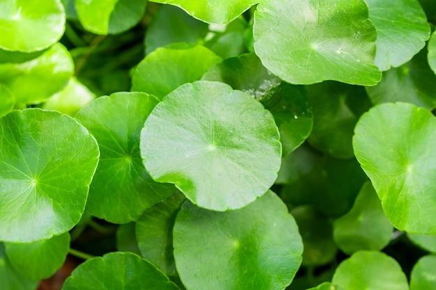 La medicina di erbe lascia la natura della centella asiatica conosciuta come centella asiatica Foto Premium