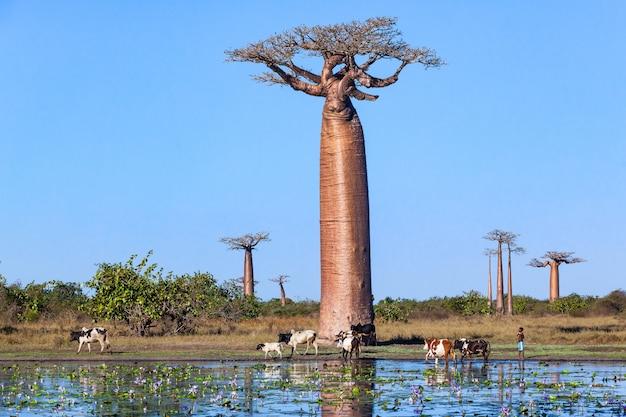 Mandria di mucche vicino vicolo baobab ninfee in stagno Foto Premium
