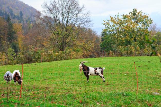 Gregge di capre e pecore al pascolo nel villaggio alpino di montagna Foto Premium
