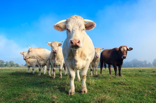 Mandria di giovani mucche bianche sul prato verde Foto Premium