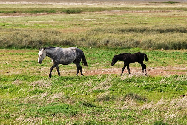 I cavalli chiudono il lago argentino a el calafate, patagonia argentina Foto Premium