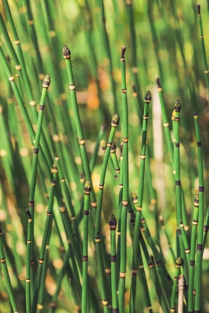 L'erba di equiseto cresce alla luce del sole. gambi uniti della fine dell'erba del puzzletail in su. equiseto verde alla luce soleggiata sulla natura del bokeh. struttura naturale dettagliata luminosa dell'erba di serpente con lo spazio della copia. Foto Premium
