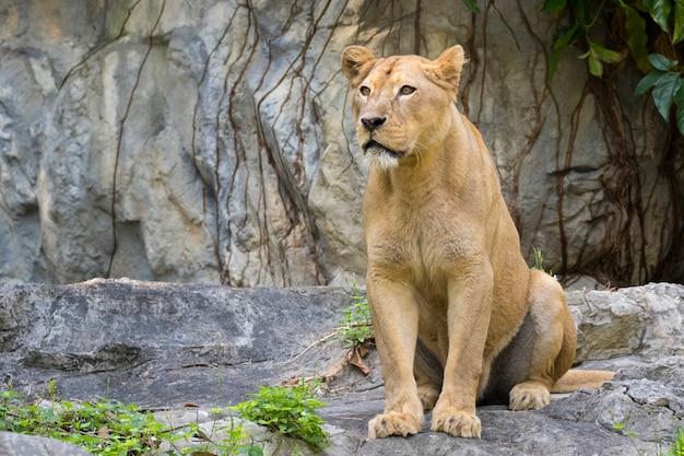 Immagine di un leone femmina sulla natura. animali selvaggi. Foto Premium