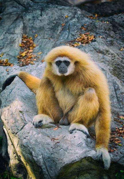 Immagine di un gibbone seduto sulle rocce. animali selvaggi. Foto Premium