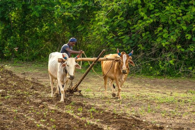 Contadino indiano che lavora in modo tradizionale con il toro nella sua fattoria, una scena agricola indiana. Foto Premium
