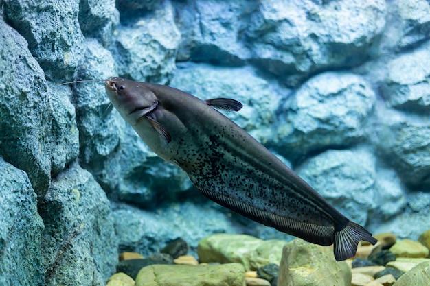 Squalo iridescente, pesce gatto a strisce, pesce gatto sutchi Foto Premium