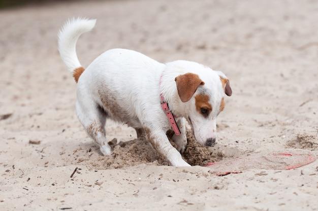 Jack russell terrier cane che scava sulla spiaggia Foto Premium