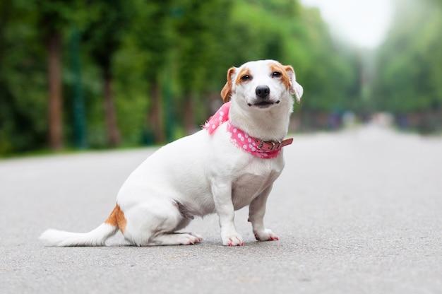 Jack russell terrier cane sta camminando nel parco Foto Premium