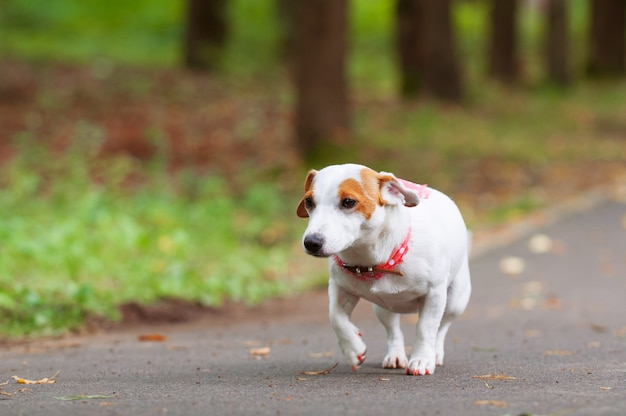 Jack russell terrier cane sta camminando nel parco Foto Premium